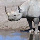 черный rhinoceros Намибии Стоковые Изображения RF