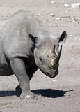 черный rhinoceros Намибии Стоковое Изображение RF