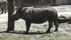 черный rhinoceros видеоматериал