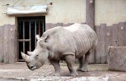 черный rhinoceros Стоковые Фотографии RF