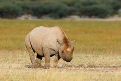 черный rhinoceros Стоковое Изображение RF