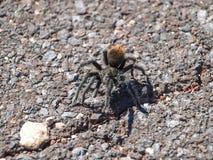 черный tarantula Пауки Юта, гранд-каньон стоковая фотография