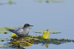 Черный tern (chlidonias Нигерия) стоковые фото