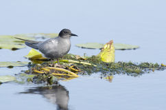 Черный tern (chlidonias Нигерия) Стоковое Изображение RF