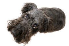 черный terrier Стоковое Изображение