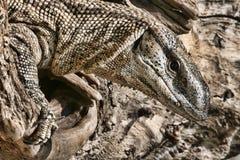 Черный Throated монитор, Varanus a albigularis, Зимбабве Стоковое Изображение RF