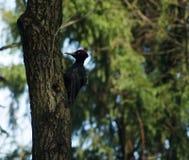 Черный woodpecker на дереве Стоковые Фотографии RF