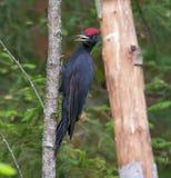 Черный woodpecker сидит на дереве по мере того как оно вызывает громко стоковая фотография