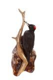 Черный woodpecker Стоковые Фото