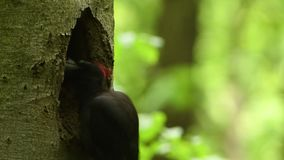 Черный woodpecker - martius Dryocopus акции видеоматериалы