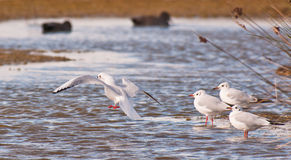 черными соединять возглавленный чайками совместно Стоковая Фотография RF