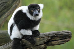 черным белизна ruffed lemur Стоковые Фотографии RF