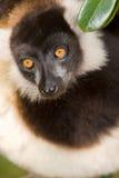черным белизна ruffed lemur Стоковое Изображение