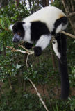 черным белизна ruffed lemur Стоковое фото RF