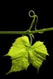 черным листья изолированные виноградным вином стоковые изображения