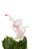 черным путь клиппирования рождества кактуса изолированный цветком Стоковые Фото