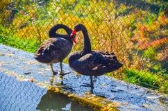 2 черных лебедя близко вода Стоковая Фотография RF
