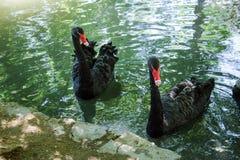 2 черных лебедя в пруде Стоковое Изображение RF