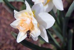 2 черных жука при красные нашивки сидя на 2 белых цветках Стоковая Фотография