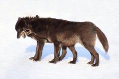 2 черных канадских волка играя на белом снеге Стоковые Фотографии RF