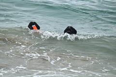 2 черных собаки плавая в Тихом океане выручая игрушку Стоковое фото RF