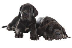 2 черных щенят больших датчанина, съемка студии, изолированная на белизне Стоковая Фотография