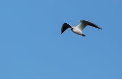 Черн-возглавленная чайка в полете Стоковое Изображение