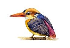 Черн-подпертый Kingfisher Стоковое Изображение