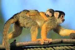 Черн-покрынная обезьяна белки Стоковая Фотография RF