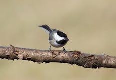 Черн-покрынный Chickadee Стоковые Фото