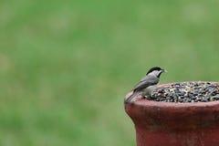 Черн-покрынный Chickadee Стоковая Фотография