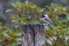 Черн-покрынный Chickadee Стоковое фото RF