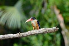 Черн-покрынный Kingfisher (Halcyon pileata) Стоковая Фотография