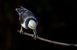Черн-collared Starling. Стоковое фото RF