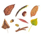 Чертежи акварели листьев, жолудей, каштанов, хворостин иллюстрация штока