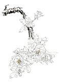 чертежи Китайск-стиля, эскизы, пион стоковые изображения