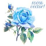 Чертеж акварели розы сини Стоковые Изображения RF