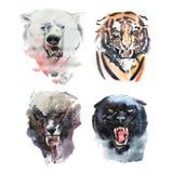 Чертеж акварели сердитых смотря медведя, тигра, волка и пантеры Животный портрет на белой предпосылке иллюстрация вектора