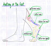 Чертеж анатомии стороны ноги человека Стоковые Фотографии RF