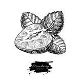 Чертеж вектора клубники Изолированный нарисованный рукой кусок ягоды на белой предпосылке Выгравированный плодоовощ лета Стоковая Фотография