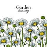 Чертеж границы цветка маргаритки Картина вектора нарисованная рукой флористическая безшовная Стоцвет иллюстрация штока