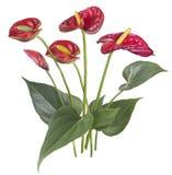 Чертеж красного цветка антуриума Стоковое Изображение