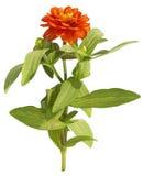 Чертеж оранжевого цветка на белой предпосылке Стоковая Фотография RF