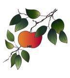 чертеж 2 яблок Стоковые Изображения