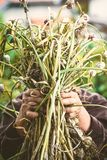 Чеснок в руках фермеров Стоковое Изображение