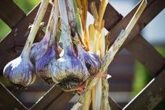 чеснок пука свежий Стоковое фото RF