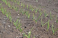 Чеснок растет в саде стоковое изображение rf