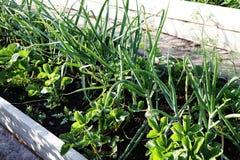 Чеснок растет в саде стоковое фото rf