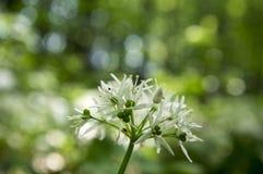Чеснок ` s медведя ursinum лукабатуна в цветени, волшебном свете Стоковое Изображение