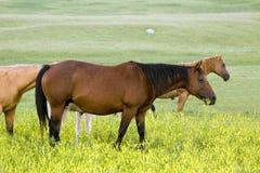 четверть конематки лошади Стоковая Фотография RF